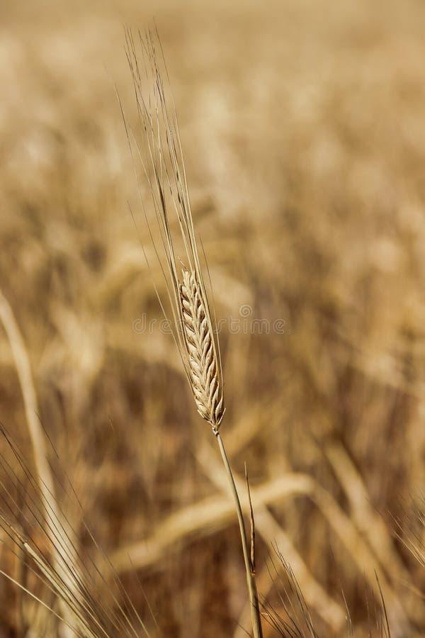 Una cabeza amarilla del trigo en un campo de trigo fotografía de archivo libre de regalías