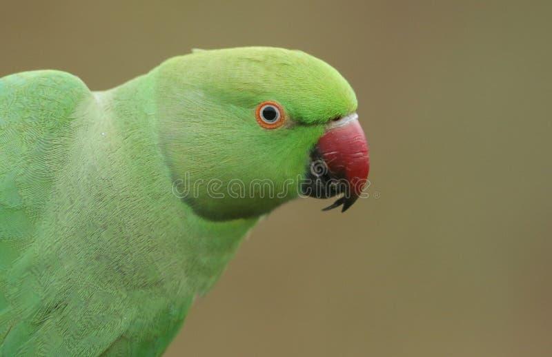 Una cabeza bonita tirada de un periquito anillo-necked, o rosa-anillado Es el ` BRITÁNICO s la mayoría del loro naturalizado abun foto de archivo libre de regalías