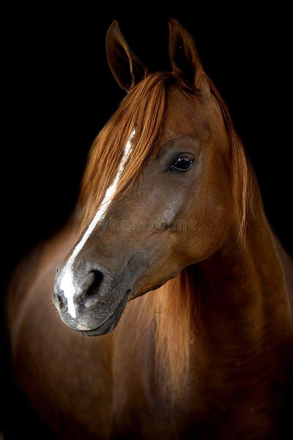 Una cabeza de un caballo contra un fondo negro fotos de archivo
