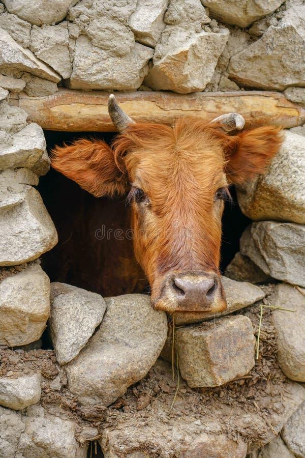 Una cabeza marrón de la vaca a través de una pequeña ventana de piedra foto de archivo libre de regalías