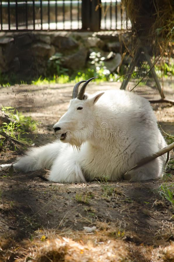 Una cabra blanca hermosa con el pelo largo y los cuernos enjaulados en un parque zoológico i imagen de archivo libre de regalías