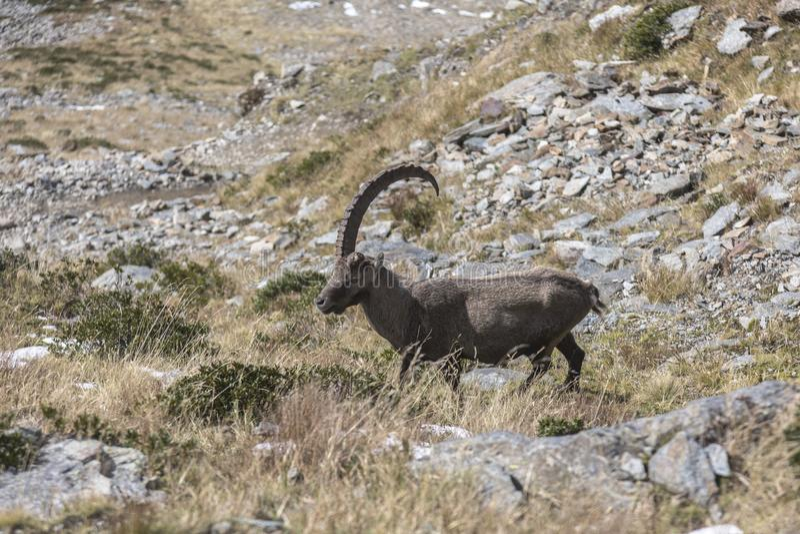 Una cabra de montaña alpina vieja del cabra montés con un cuerno en las rocas en los prados, soporte Blanc, Francia imagen de archivo libre de regalías