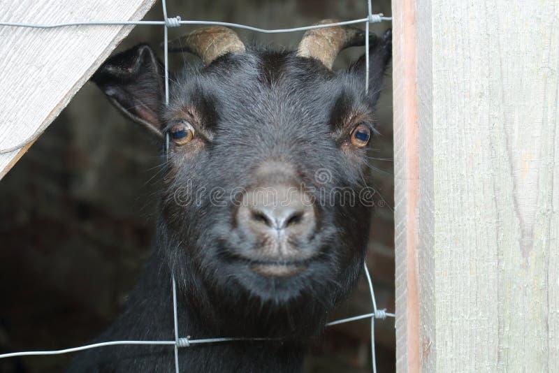 Una cabra negra adulta del Camerún está dentro detrás de barras y mira curiosamente directamente en la cámara fotografía de archivo libre de regalías