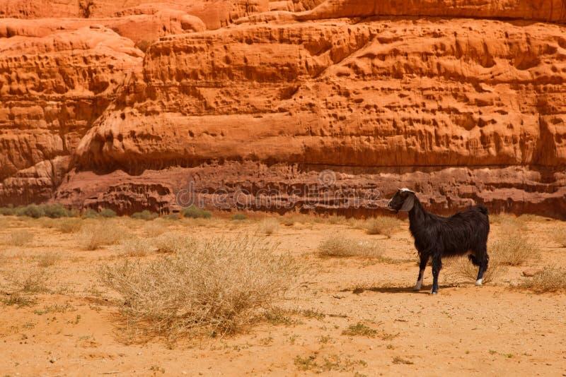 Una cabra perdida en desierto rocoso imagenes de archivo
