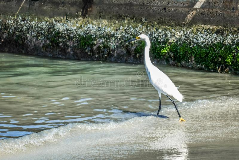 Una caccia dell'airone nel mare Airone bianco sulla caccia fotografia stock