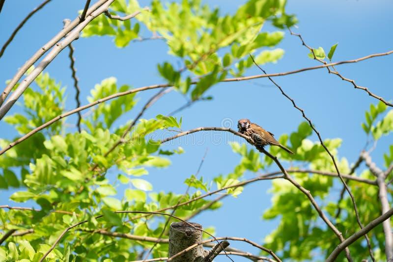 Una caduta marrone bagnata dell'uccello del passero sopra al piccolo ramo con il fondo del cielo della sfuocatura fotografie stock libere da diritti