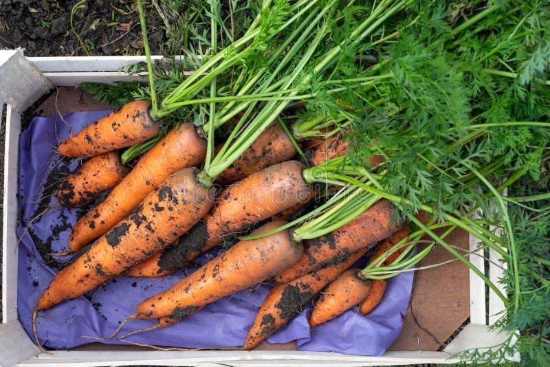 una caja de zanahorias orgánicas frescas cosechadas. concepto de alimentos ecológicos agrícolas fotos de archivo