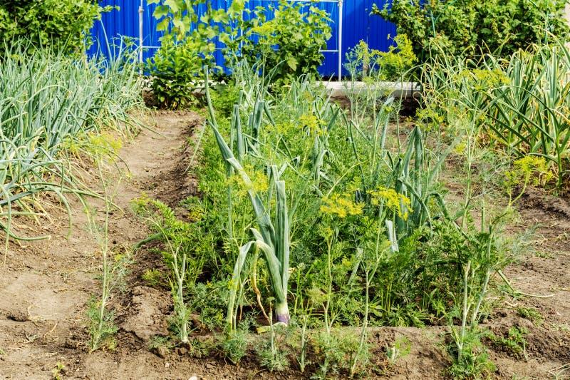 Una cama con una cosecha del hinojo y de las cebollas verdes Plantas frescas que se utilizan como condimento para los platos imagen de archivo