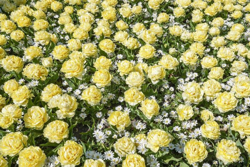 Una cama de flor con los tulipanes blancos poner crema de la peonía mezclados con la anémona blanca Anemone Blanda imagen de archivo