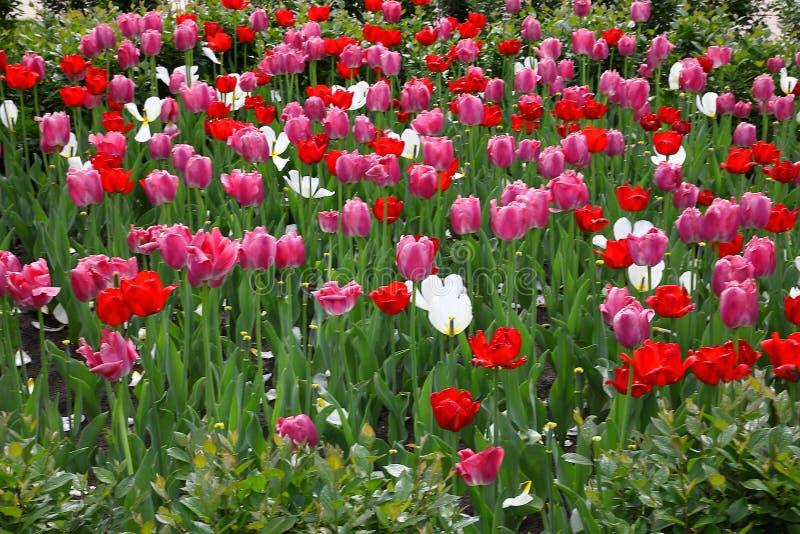 Una cama de flor con los tulipanes rojos, de los rosas y blancos en un parque fotografía de archivo