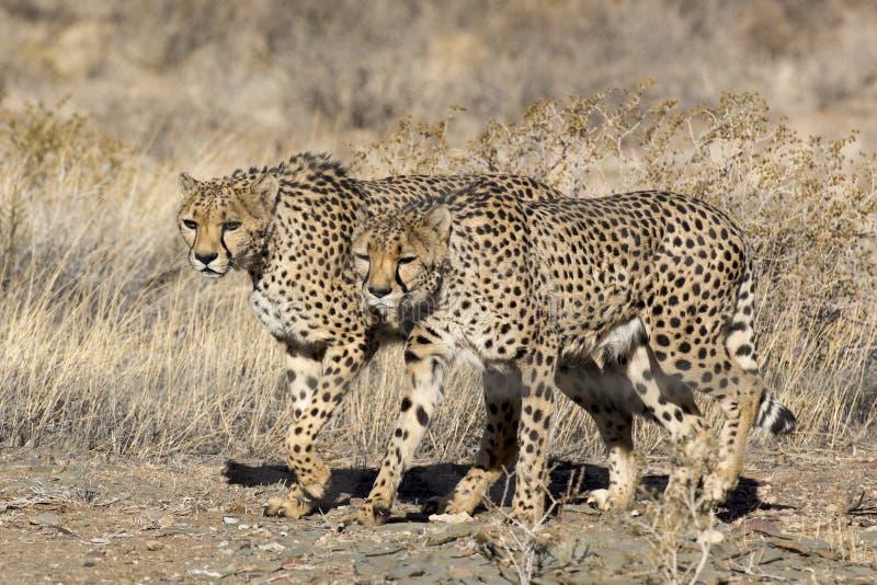 Una camminata di due grandi gatti fotografie stock libere da diritti