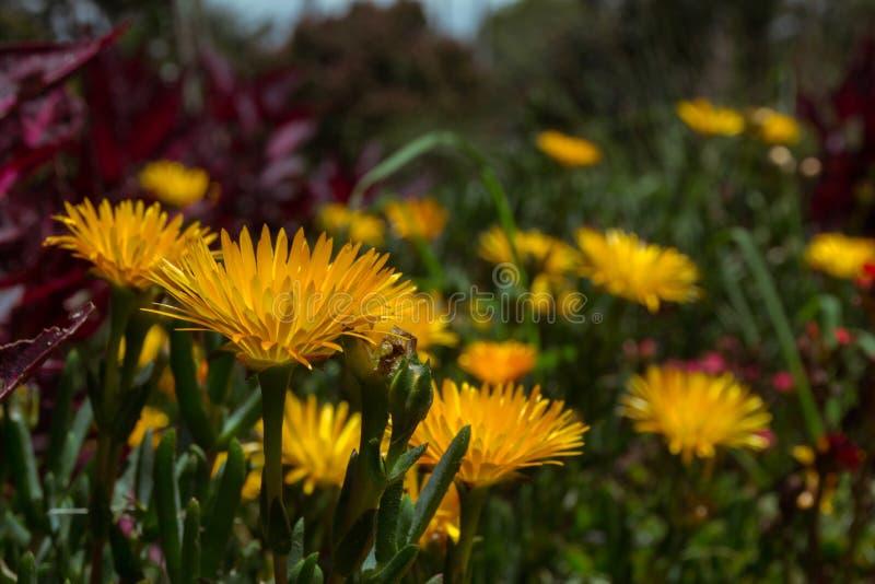 Una campagna dei fiori gialli fotografie stock libere da diritti