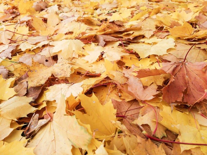 Una capa de hojas de arce foto de archivo