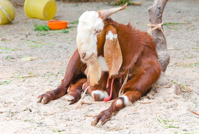 Una capra immagini stock