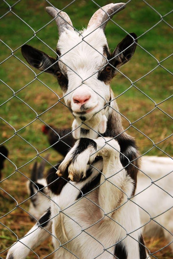 Una capra che si leva in piedi e che guarda tramite la rete fissa fotografia stock libera da diritti