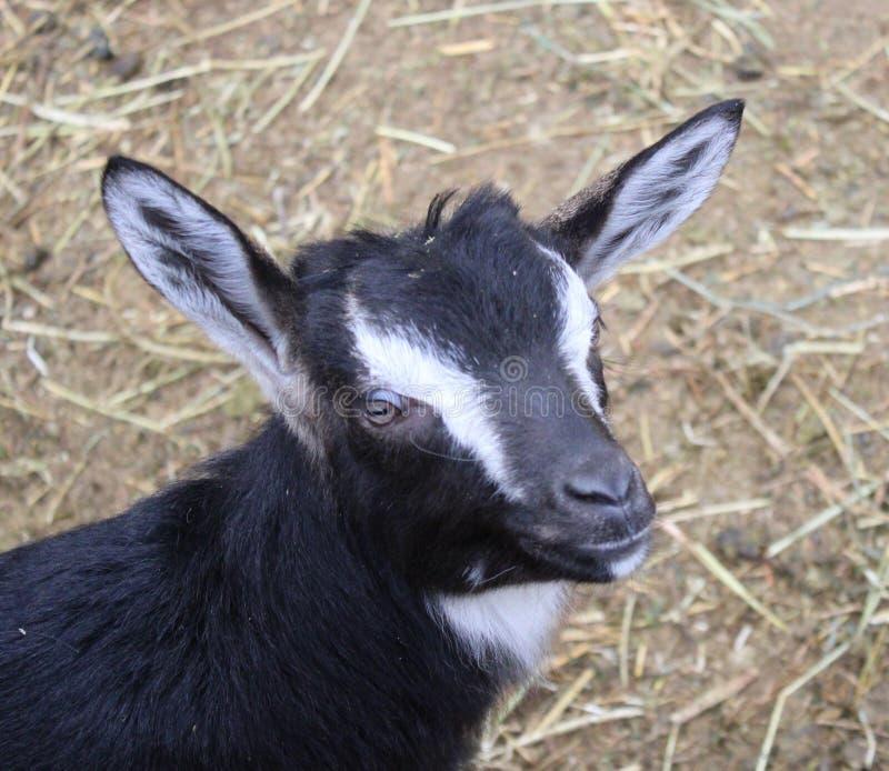 Una capra nera immagini stock libere da diritti