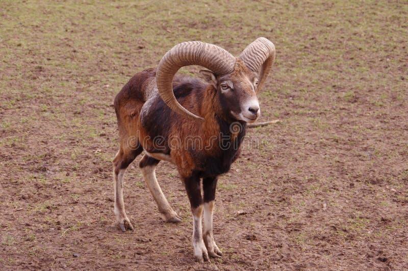 Una capra sul pascolo fotografia stock libera da diritti