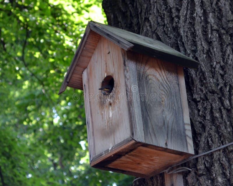Una casa dello storno su un albero con un piccolo pulcino dentro immagine stock libera da diritti