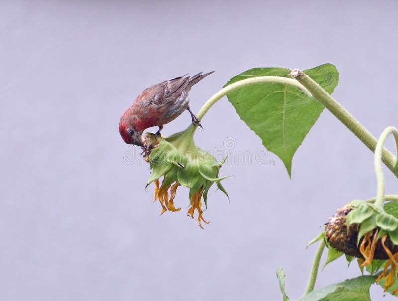 Una casa masculina Finch Eating Sunflower Seeds fotos de archivo