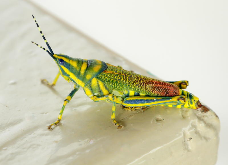 Una cavalletta dipinta (poekilocerus pictus) fotografia stock libera da diritti