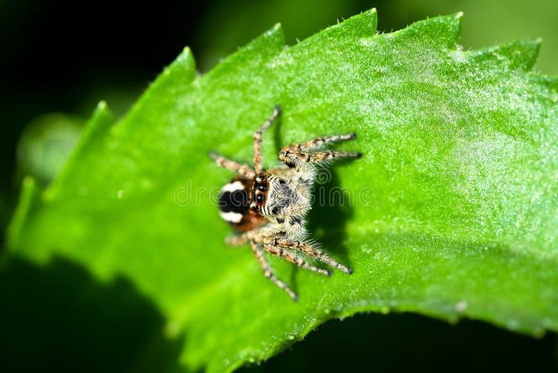 Una caza de salto de la araña para la presa en un fondo verde fotografía de archivo
