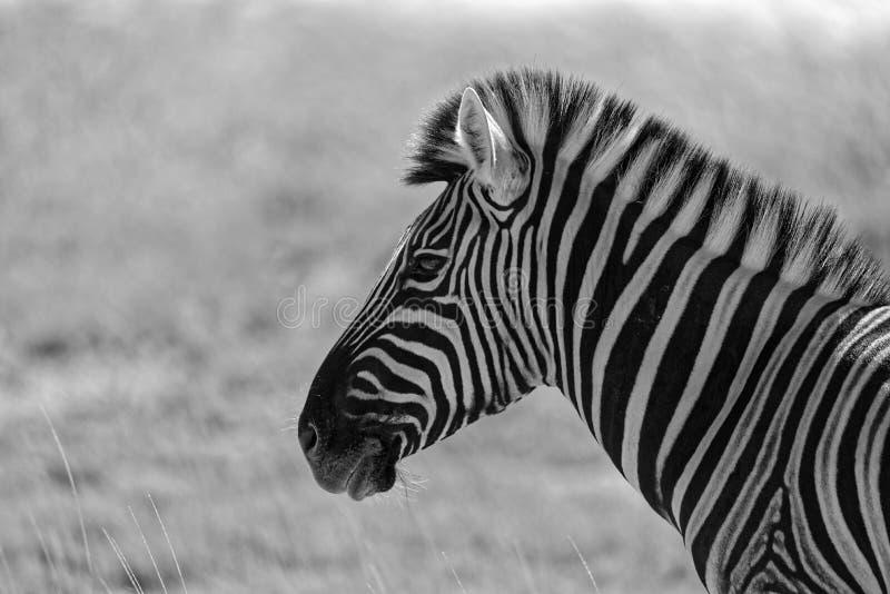 Una cebra blanco y negro, por supuesto fotografía de archivo
