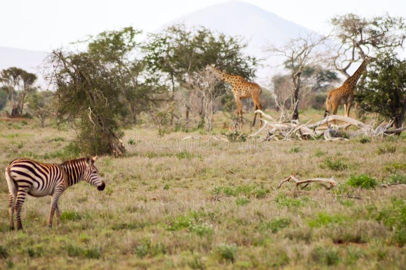 Una cebra y dos jirafas que pastan imagen de archivo libre de regalías