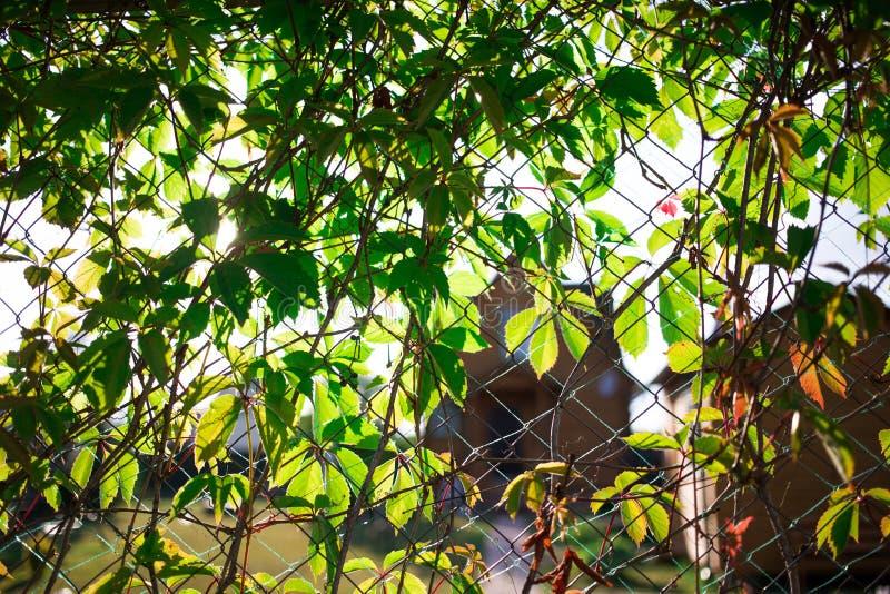una cerca, uvas virginales verdes jovenes demasiado grandes para su edad fotografía de archivo libre de regalías