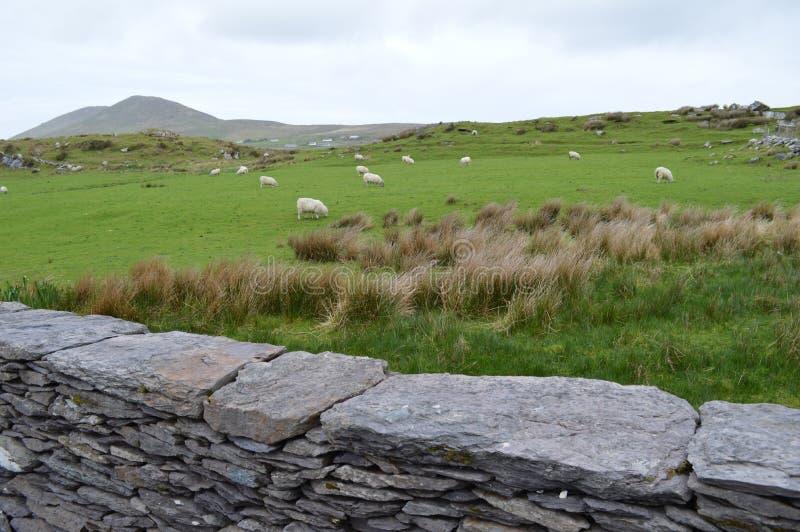 Una cerca y una oveja de piedra irlandesas fotos de archivo