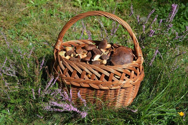 Una cesta por completo de boletes deliciosos de la bahía fotos de archivo