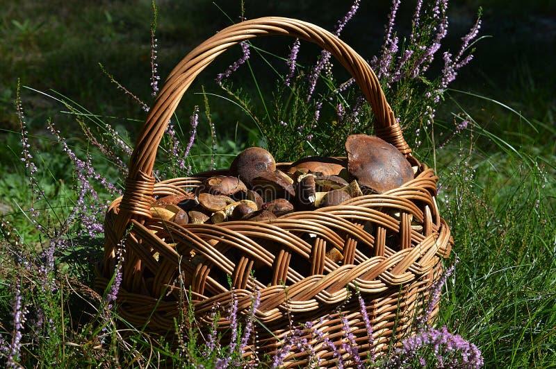 Una cesta por completo de boletes deliciosos de la bahía fotografía de archivo
