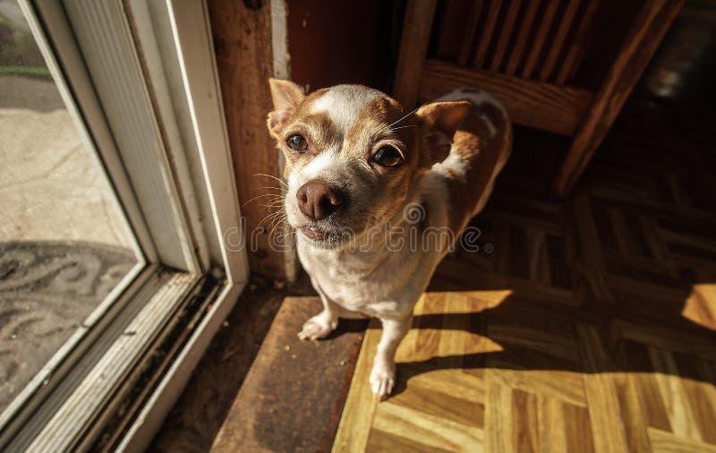 Una chihuahua adulta que hace una pausa una puerta de malla foto de archivo libre de regalías
