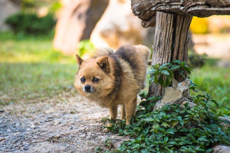 Una chihuahua linda que orina en la tabla de madera en jardín chihuahua de la orina en parque en el asfalto del perro, imagen de archivo libre de regalías