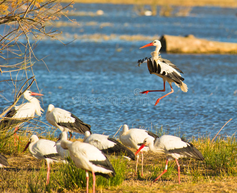 Una cicogna bianca del nuovo venuto fotografie stock