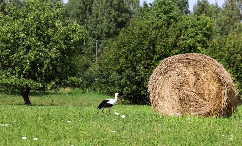Una cicogna e un mucchio di fieno villaggio Luce del giorno Fotografia di estate fotografia stock