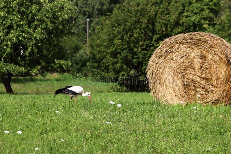 Una cicogna e un mucchio di fieno villaggio Luce del giorno Fotografia di estate immagine stock