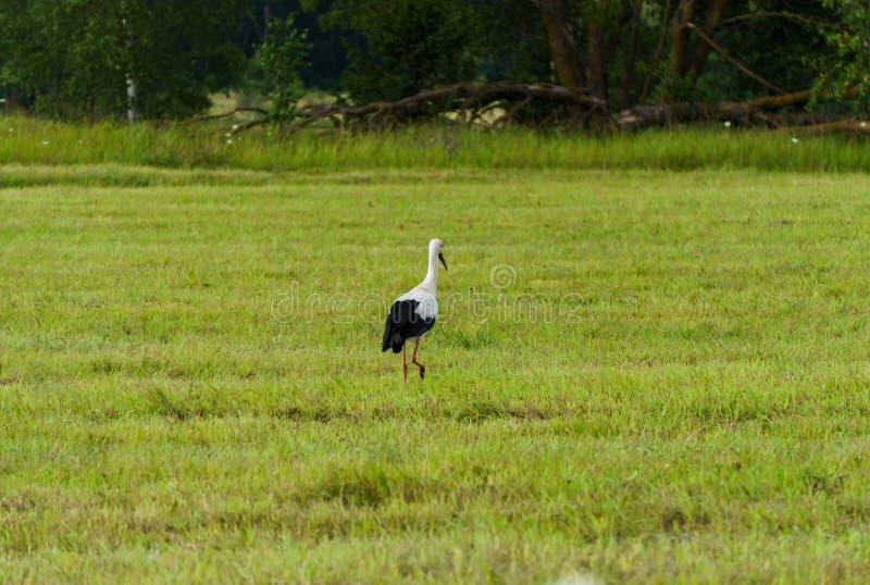 Una cigüeña solitaria recorre un campo de pueblo buscando comida fotografía de archivo libre de regalías