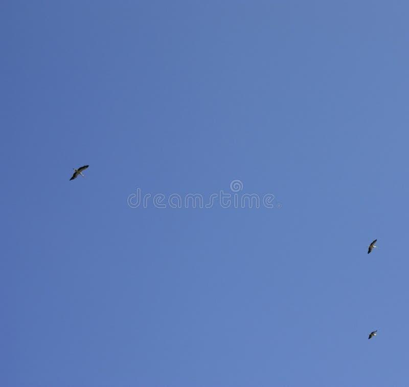 Una cig?e?a vuela contra un cielo azul profundo Cig?e?a en el cielo Cig?e?a blanca arriba imágenes de archivo libres de regalías