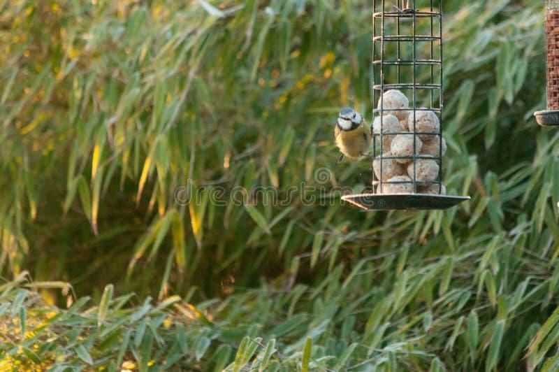 Una cinciarella che si alimenta da un alimentatore dell'uccello in giardino fotografia stock libera da diritti