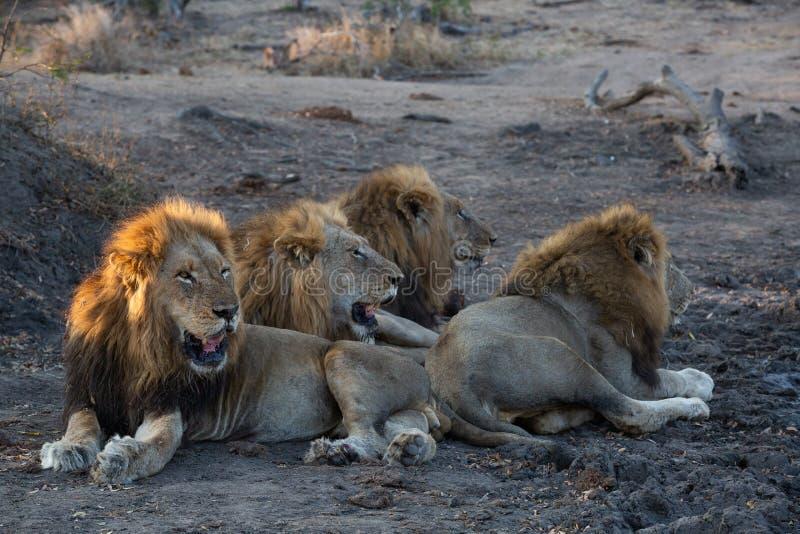 Una coalizione dei leoni maschii che si trovano insieme fotografia stock