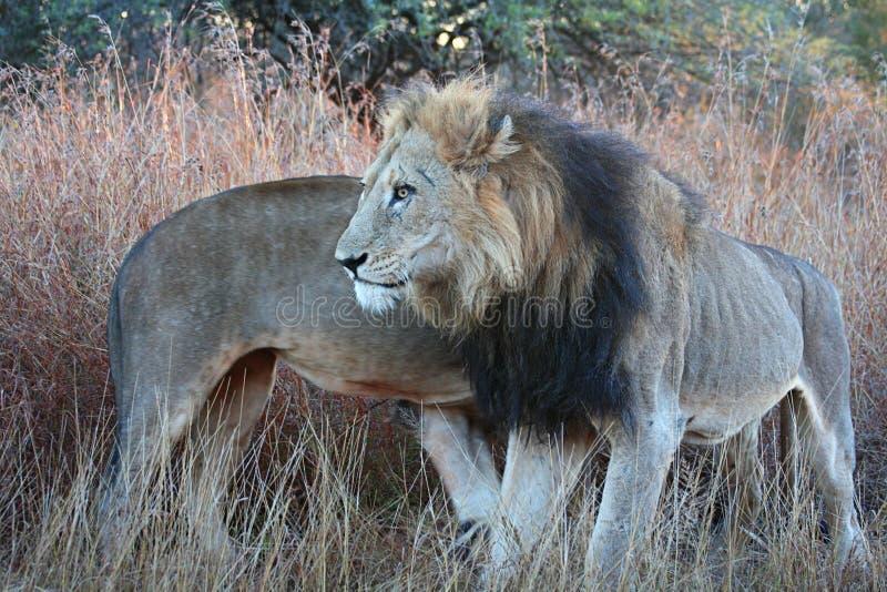 Una coalizione del leone di due maschi che si circonda fotografia stock