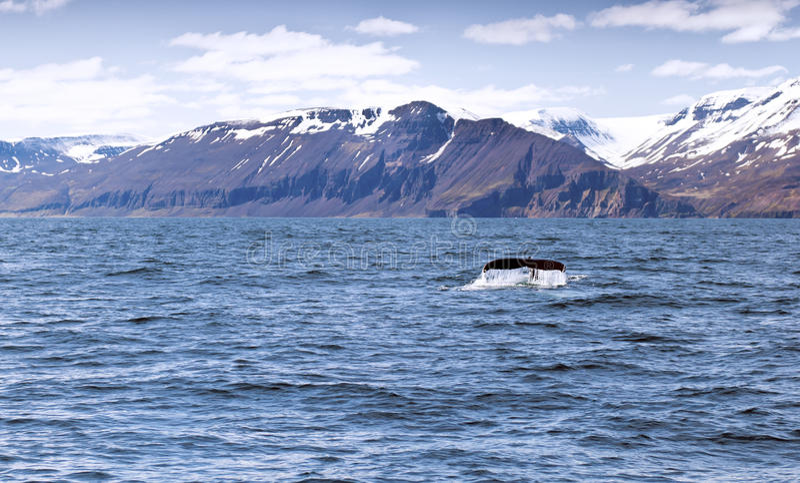 Una coda della balena di humpback fotografie stock libere da diritti