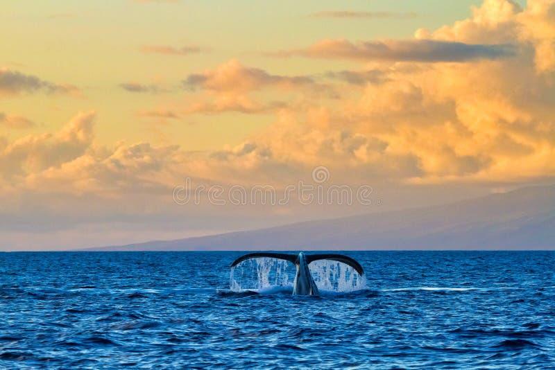 Una coda notevole della balena veduta da un crogiolo di orologio della balena al tramonto su Maui fotografia stock