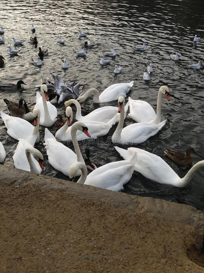Una colección de cisnes por el agua imágenes de archivo libres de regalías