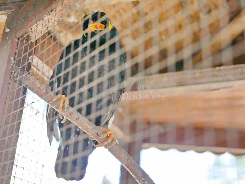 Una colina salvaje Mynah del pájaro atrapado en una jaula que simboliza la desesperación y la libertad perdidosa en vida fotografía de archivo