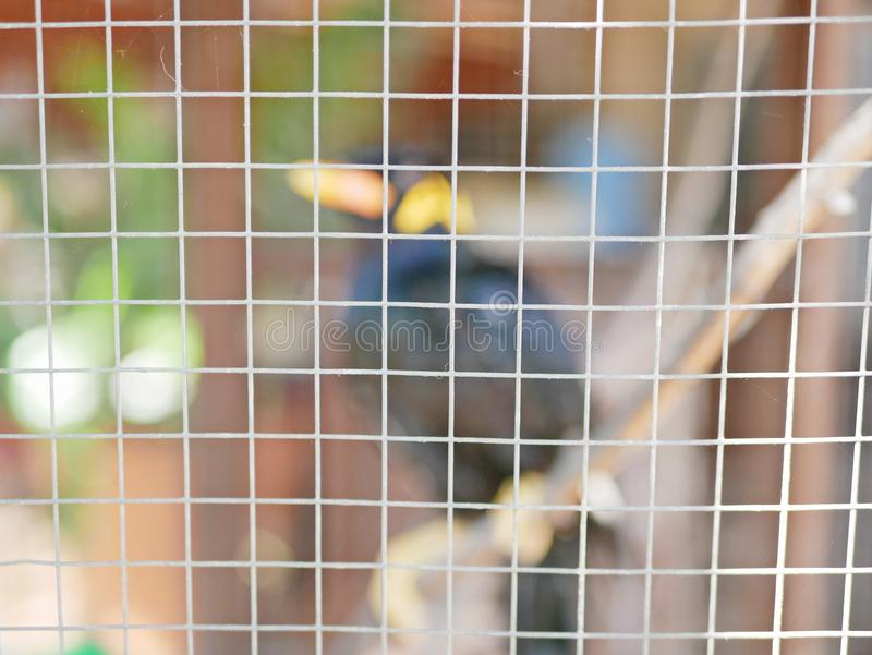 Una colina salvaje Mynah del pájaro atrapado en una jaula que simboliza la desesperación y la libertad perdidosa en vida imágenes de archivo libres de regalías