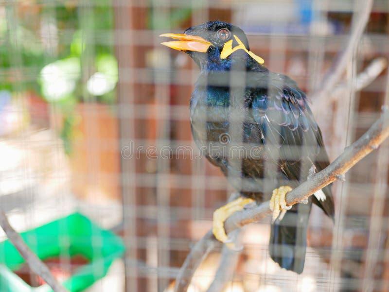 Una colina salvaje Mynah del pájaro atrapado en una jaula que simboliza la desesperación y la libertad perdidosa en vida imagenes de archivo