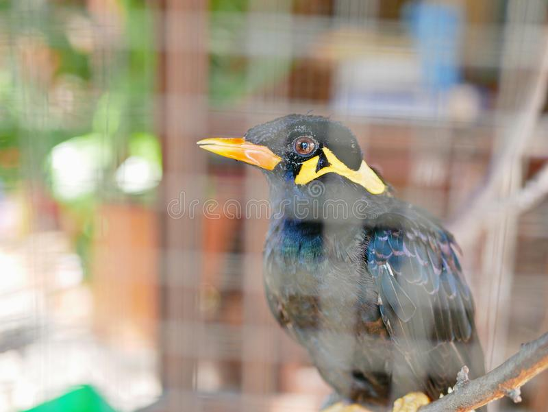 Una colina salvaje Mynah del pájaro atrapado en una jaula que simboliza la desesperación y la libertad perdidosa en vida fotografía de archivo libre de regalías