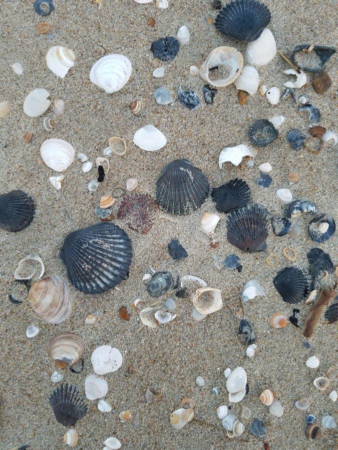Una collezione di conchiglie differenti nella sabbia fotografia stock libera da diritti