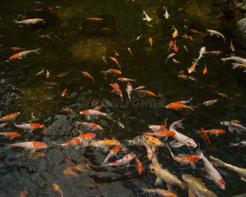Una collezione di pesce di koi che nuota nello stagno immagine stock libera da diritti